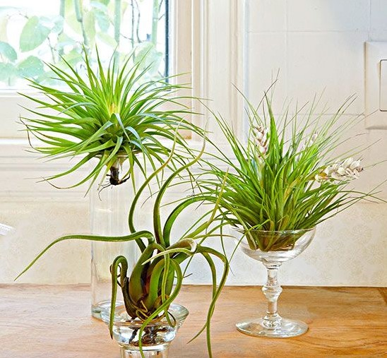 Decorate your home with airplants threads for Air plant decoration