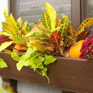 Croton Window boxes