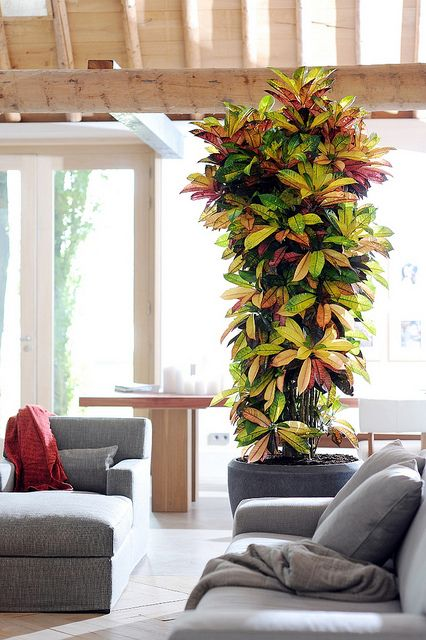 Croton plant Indoor idea