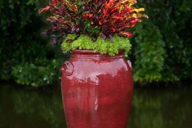 Croton plant decoration