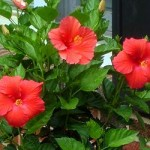 Hibiscus summer flowering plant
