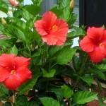 Hibiscus summer flowering plant