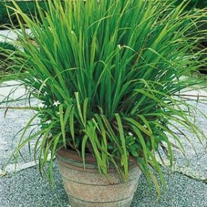 Lemongrass for home fragrance