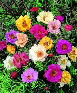 Moss Rose summer flowering plant