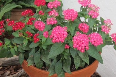 Pentas summer flowering plant