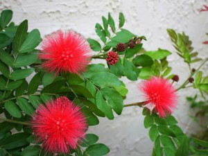 Powder Puff summer flowering plant
