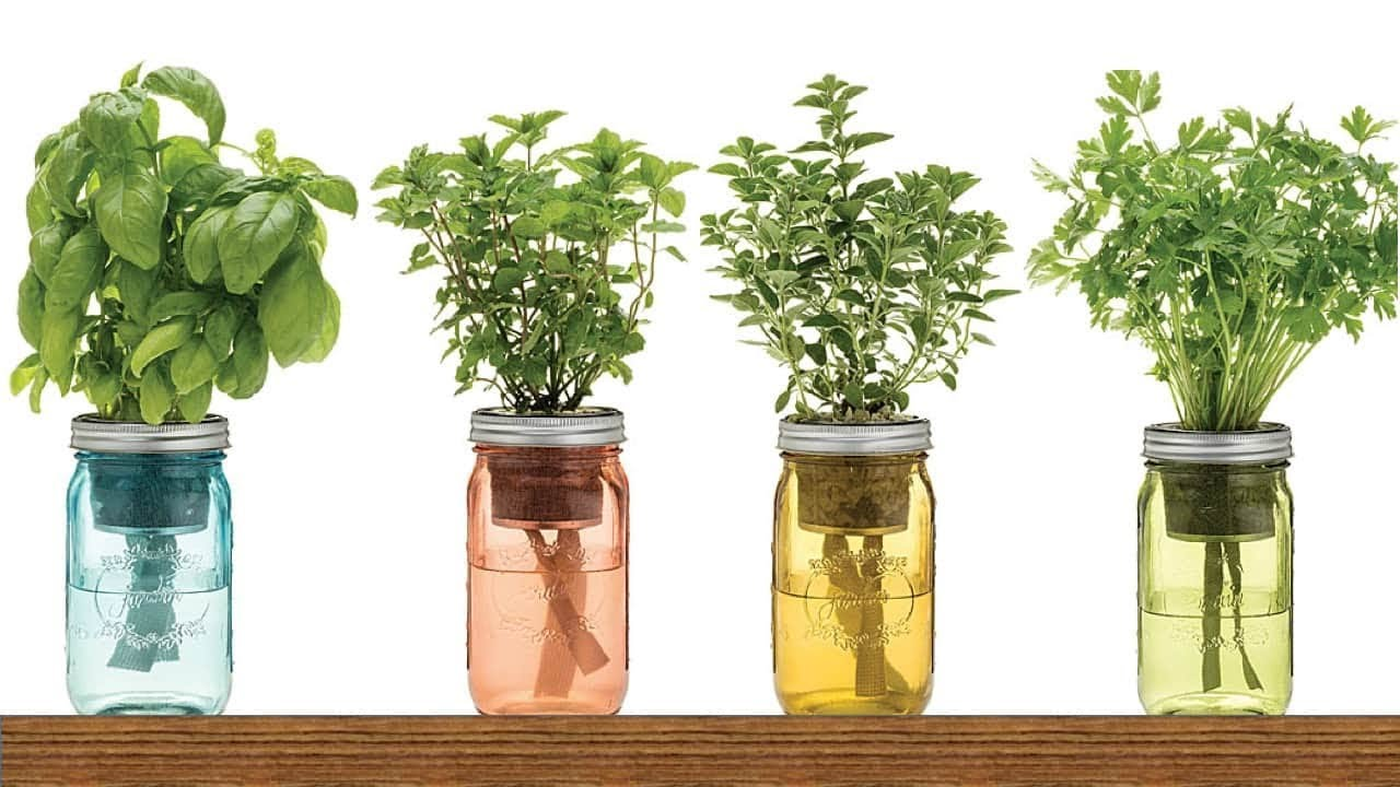 Herbs that can regrow in water