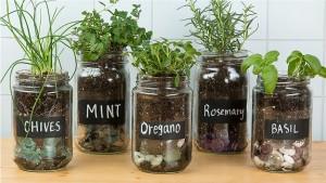Reuse glass jars for growing herbs