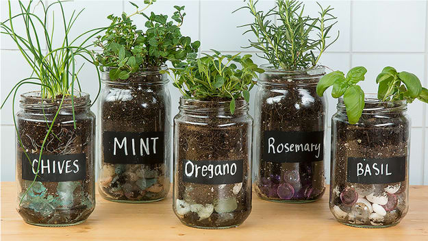 Reuse glass jars for growing herbs
