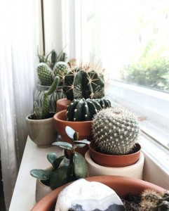 Cactus plants as indoor plant