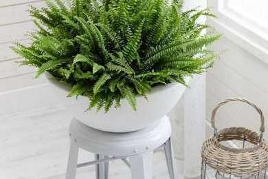 Fern plant, indoor plant