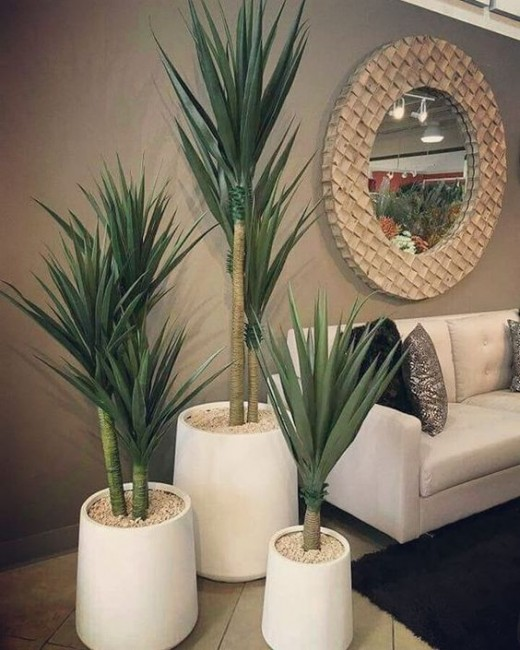 Yucca Plant as indoor plants