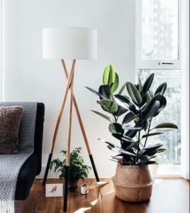 indoor plants, Rubber plant
