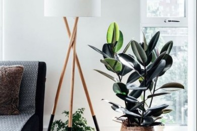 indoor plants, Rubber plant