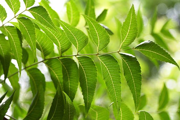 Neem as a natural toner for skin
