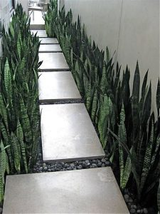 snake plant for creating hedge landscape