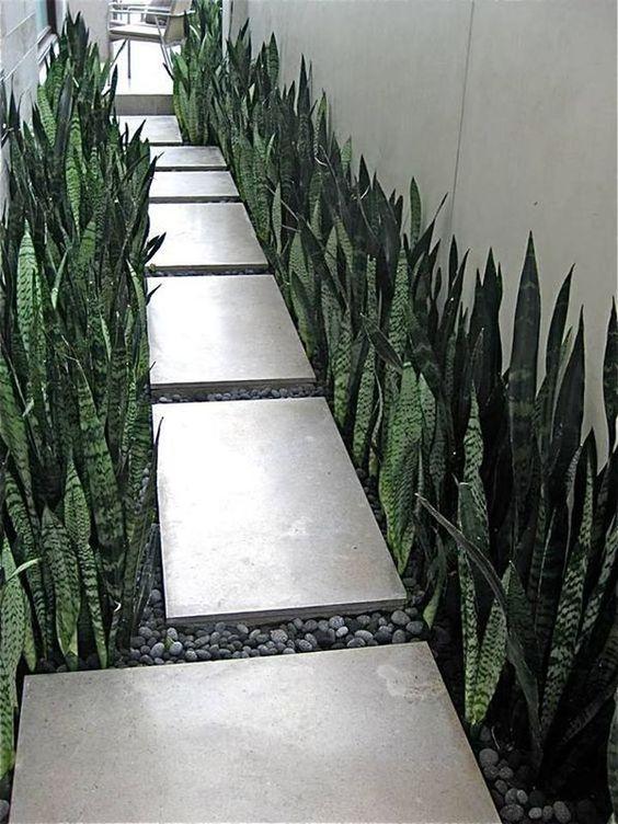snake plant for creating hedge landscape
