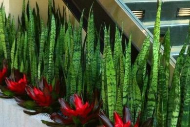 Create Hedge Landscape With Snake Plant
