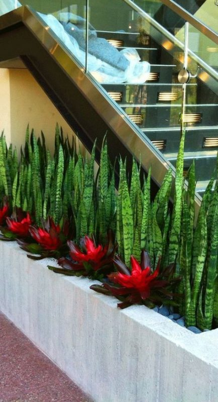 Snake plant for creating hedge for landscaping