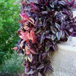 6 Ways To Use Zebrina Plant For Home Decor