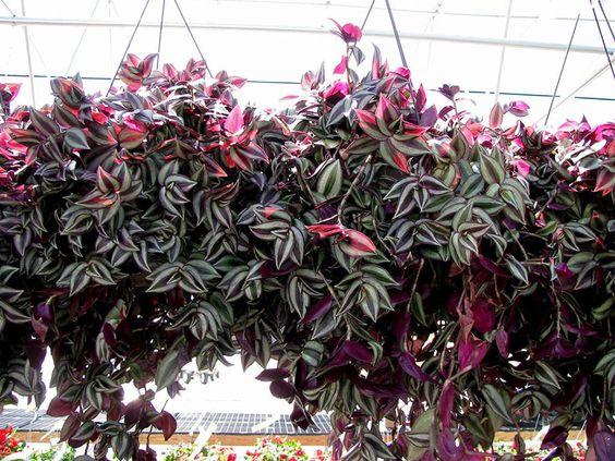 Tradescantia zebrina plant decor