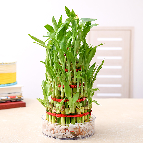 Lucky Bamboo plant, Diwali decoration