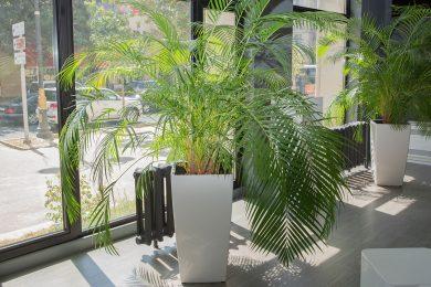 Palm plant, Diwali decoration