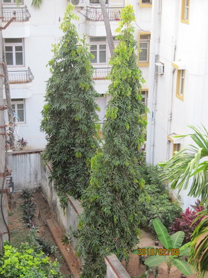 Benefits of planting Ashoka tree at home