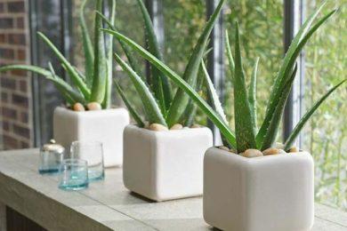 Home decor with Aloe Vera